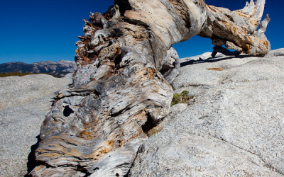 Remains of Jeffrey Pine - Sentinel Dome