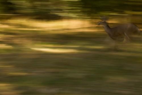 Passing Mule Deer